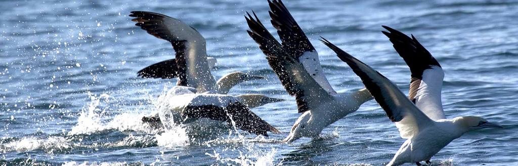 cape-gannets
