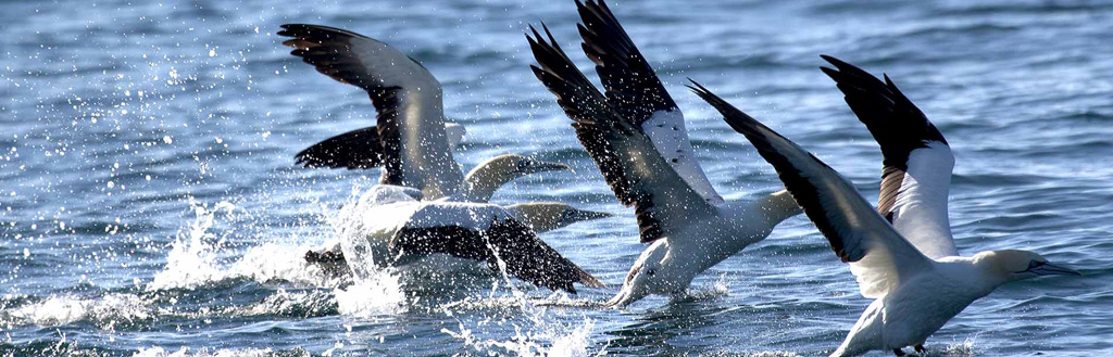 cape-gannets
